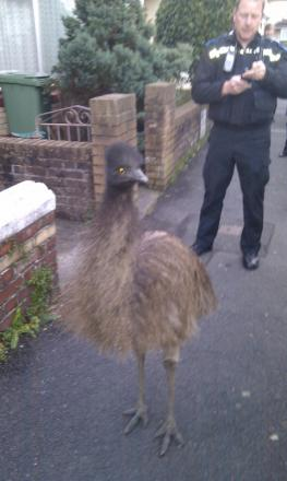 Police arrested the escaped Emu in Barnstaple yesterday.
