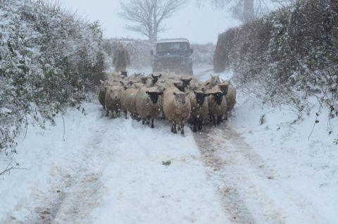 A farmer moving sheep in the snow at Christ Cross Hill above Silverton