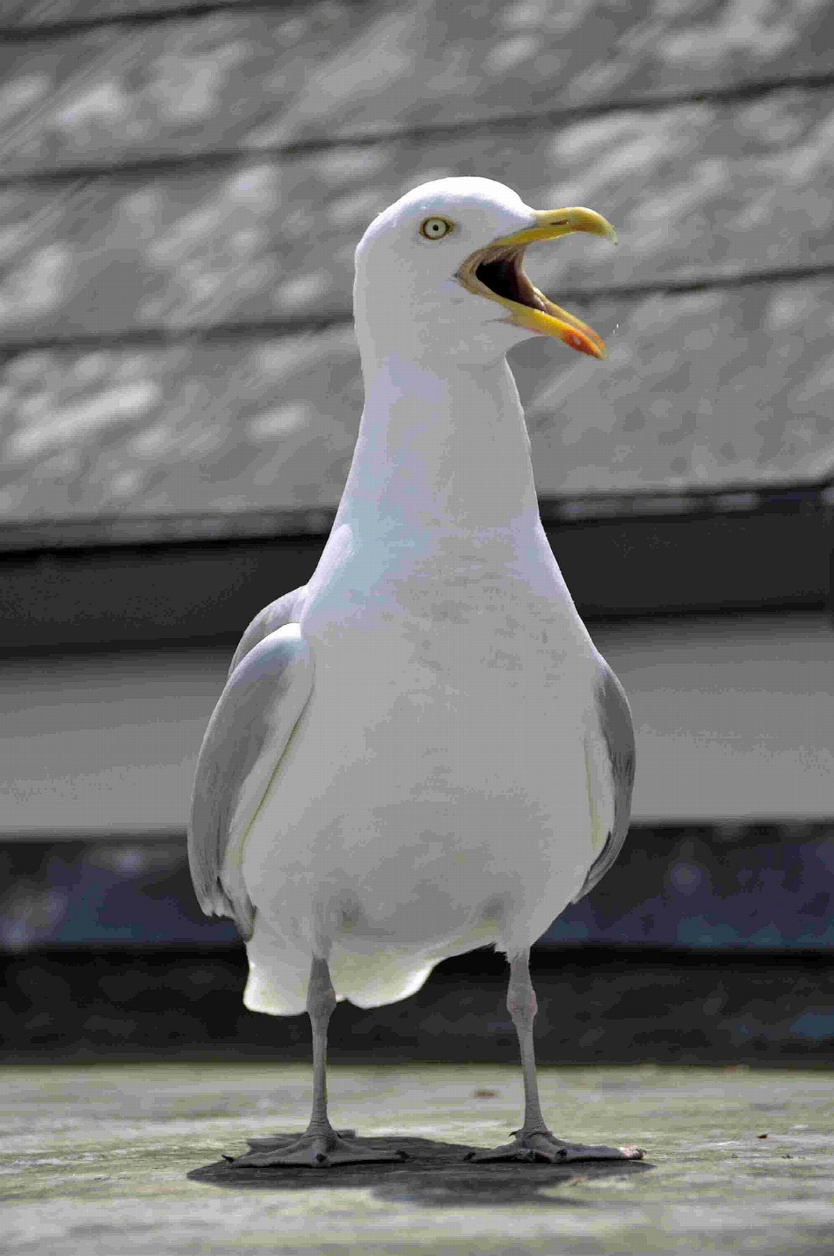 It may steal your pasty, but herring gulls are protected warn police