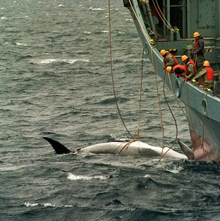 An illegally-killed minke whale being landed by a Japanese ship
