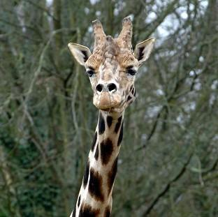 Concerns about inbreeding among the giraffe population was behind the decision at Copenhagen Zoo