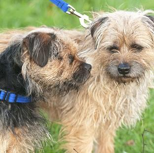 Mid Devon Star: Two-year-old Border Terrier Lucky (left) with his father Scruff who acts as his son's guide dog as Lucky was born without retinas and has never been able to see (Nick McGowan-Lowe/PDSA/PA)