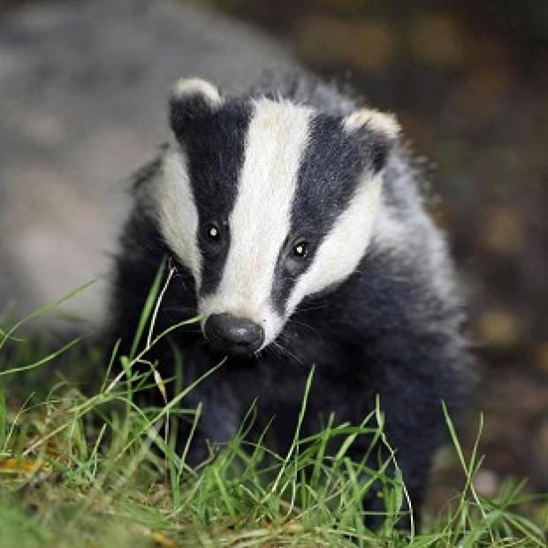 Mid Devon Star: Pilot culls were due to run for six weeks, with the aim of killing 70% of badgers in each area