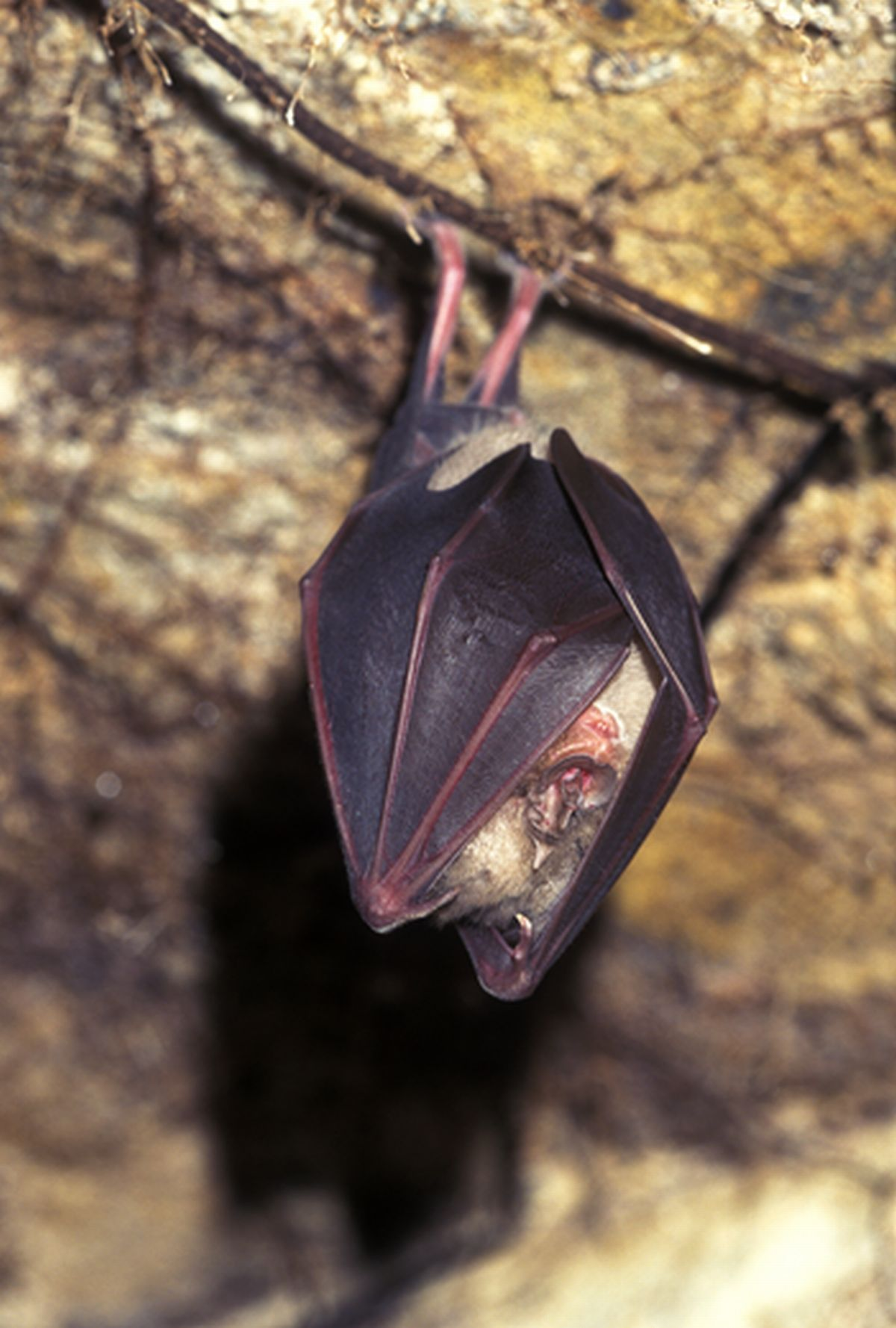 Greater Horseshoe Bat Project wins Heritage Lottery Fund support