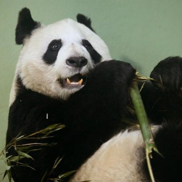 Mid Devon Star: Tian Tian failed to mate naturally so has been artificially inseminated