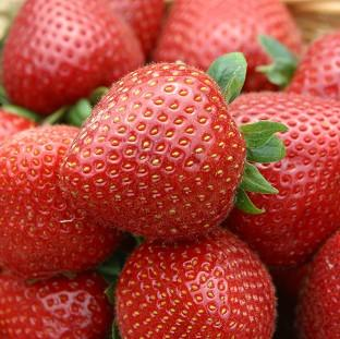 Mid Devon Star: Weather conditions should ensure a bumper crop of strawberries this year.