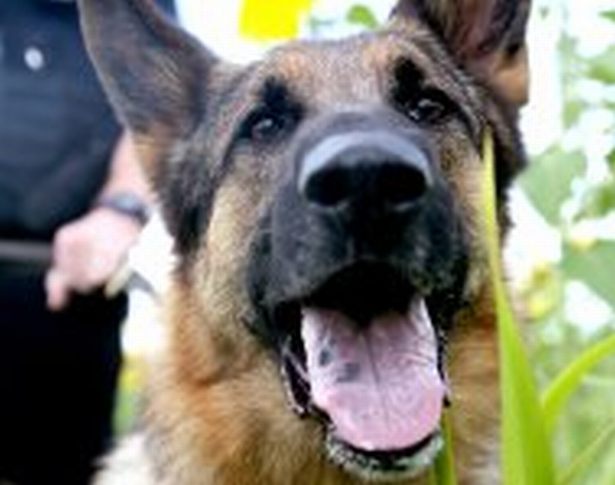 Police dog praised for 'Sharpe' work