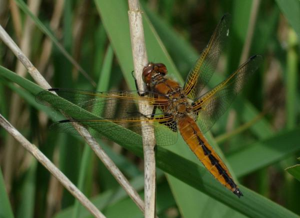 Scarce dragonfly finds new Devon home