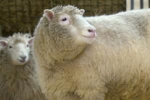 Dolly the sheep's cloned 'siblings' ageing healthily