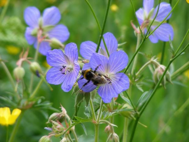 Bee decline in Cornwall shows pollinators face perfect storm, says charity